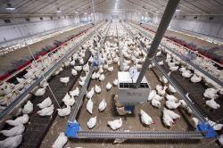 Sistema d'alimentazione Chain femminile del selezionatore della strumentazione del pollame (tipo della sospensione)