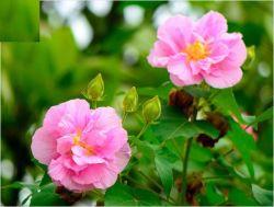 Hibiscus-Blumen-Auszug und Hibiscus Mutabilis L.