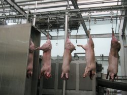 Large Slaughterhouse를 위한 돼지 Bleeding Conveyor