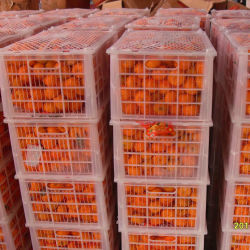 Nova Colheita bebê fresca Mandarin Orange