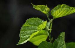 Естественных растительных экстракт листьев шелковицы извлеките с помощью Rutin>0,1% для контроля веса травы травяной