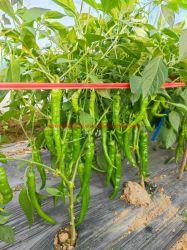 Hybird F1 pimenta picante sementes com rugas fruto da pele