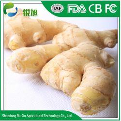 良質の損なわれていなくふくよかできれいで黄色いカラー中国の新しいショウガ