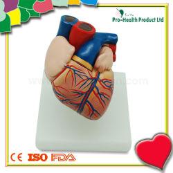 L'éducation médicale Modèle anatomique du coeur humain