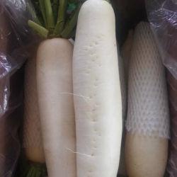 Rabanete Branco fresco com embalagem da caixa