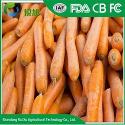 La Chine carotte frais de vente à chaud