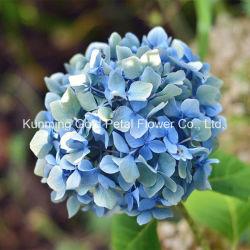 Belas e populares de flores frescas cortadas Hortência para decoração de casamentos