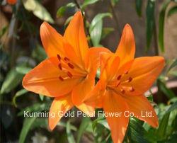 Qualität-frische Schnitt-Blumen-Lilien-Orangen-Lilie