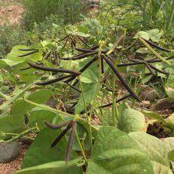 China Verde Orgânico feijão-da-china com bom preço feijão-da-china