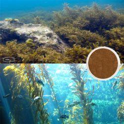 Cuidado de la piel Extracto Natural extracto de algas marrones
