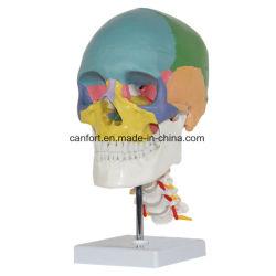 Medizinischer Unterrichts-menschliches Skeleton Schädel-Modell mit dem Standplatz, gefärbt