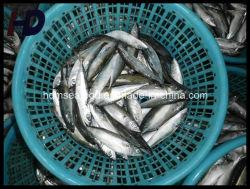 Le Maquereau congelé Poisson pour la vente de fruits de mer (Scomber japonicus)