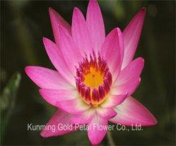 Wundervolle Dekoration-Qualitäts-frische Schnitt-Blumen-Wasser-Lilie