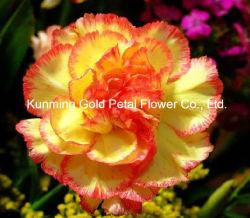 De belles fleurs fleurs coupées fraîches Natuaral Sangba Carnation