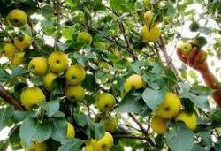 De heerlijke Peren van het Gewas van de Peer van Ya van het Verse Fruit Nieuwe