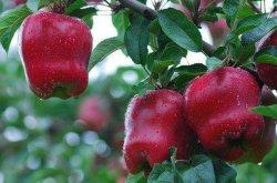 В области здравоохранения для свежих продуктов Apple крупного рогатого скота