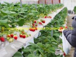 Fragola elevata per l'agricoltura/allevamento di stock/acquacoltura/ristoranti/Ricerca scientifica