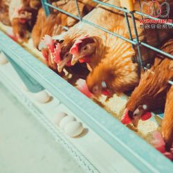 Le Chili Hot Sale Factory châssis en H de la couche de la batterie de cages et de cage galvanisé à chaud pour le poulet délestée
