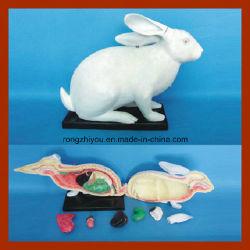 Modelo Animal de conejo modelo Wholsale Anatomía