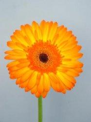 Flower-Gerbera fraîches coupées
