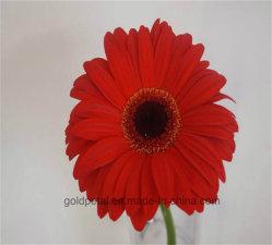 Merveilleux et les plus populaires de fleurs coupées fraîches gerberas rouges