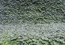 水溶性のキヅタの葉のエキスの粉のプラントエキス