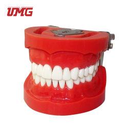 2 Mal Große Pädagogische Zahnärztliche Standard-Zähne Modell
