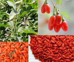 Cápsula de extracto Wolfberry comida de Saúde (JLCW023)