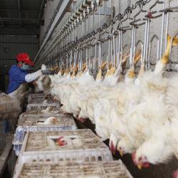 500-1000bph volailles Poulets Butcher machines produites en Afrique du Sud de l'équipement