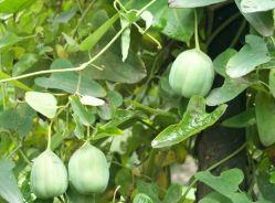 Extracto de raiz Dutchmanspipe Extracto de fruta Dutchmanspipe