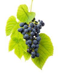 Extracto Natural de plantas semilla de uva con polifenol NLT 80% Herb A base de hierbas