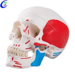 Медицинские человека Цветная модель черепа