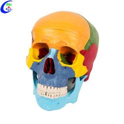 Пластмассовые медицинские Classic анатомические Окрашенные области череп модель 3 часть