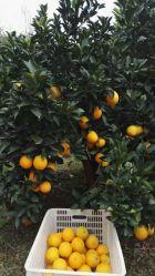 Свежие Gannan пупка оранжевого цвета фрукты