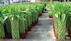 도매 보육원 실내 장식 도매 자연 식물 럭키 대나무 그린 실내 화분 그린 식물 보사이 핫 세일