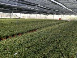 Gewundener glücklicher InnenpflanzenblumeDracaena Sanderiana des Bambus-45cm Hauptdekoration