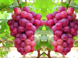 2019 Les raisins rouges fraîches Global