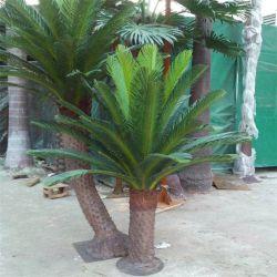 De sierplanten Cycas Revoluta van Cycas van de Installaties van de bonsai voor Levering voor doorverkoop
