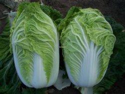 L'exportation des aliments sains de légumes frais Chou chinois