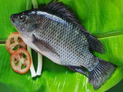 China Bevroren Zwarte Tilapia Vissen (Oreochromis Niloticus) Poissons Vivants Congele