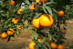Het Oranje Poeder van het Ingrediënt van het voedsel/het Poeder van het Jus d'orange