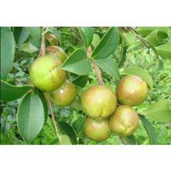 شجرة كاميليا [أيل بلنت] [إسّنتيل ويل] شجرة كاميليا [جبونيك] [سد ويل] شام [بولفنول] [إديبل ويل] مستحضر تجميل متوسّط [أنتي-وإكسيدأيشن] بذرة الشجرة كاميليا قابيل [أليفرا]