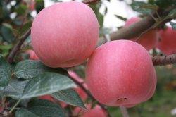 Natuurlijke voeding voor Verse Appelen FUJI