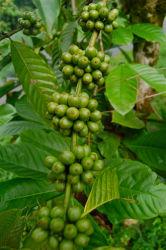 Anti-Oxidant&Anti-Aging grão de café verde orgânico Natural, P. E. Ácido Chlorogenic Total