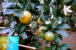 Limonina