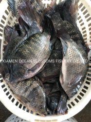ソースの中国の工場からの稼働したフリーズされたOceanblossomsのイズミダイの魚