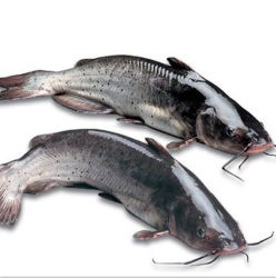 IQF Vis hele ronde bevroren Catfish Vis