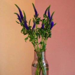 Fraîcheur garantie fleurs fraîches coupées des plantes ornementales de fleurs coupées fraîches Sage pour la décoration