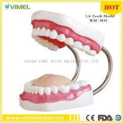 Стоматологическая зубьев модели 6X используется для изучения и преподавания зубной врач больницы материала