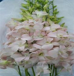 Whosales Hot Sale et de haute qualité de fleurs coupées fraîches Phalaenopsi Orchidées Dendrobium Suree Peach pour de meilleurs décoration